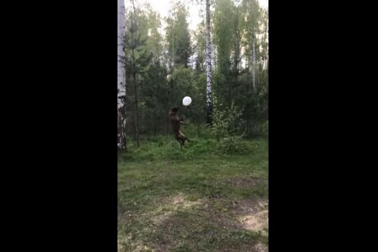 見よ!この跳躍力!風船遊びをするワンコの身体能力がすごすぎる