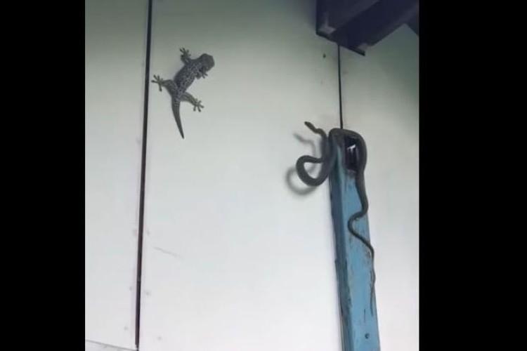 【決定的瞬間】ヤモリ vs ヘビのバトル、衝撃の結末が笑える