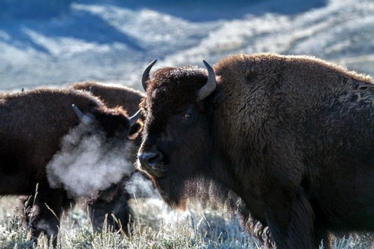 巨大な牛の「バイソン」ってどういう動物?気性は荒いの?
