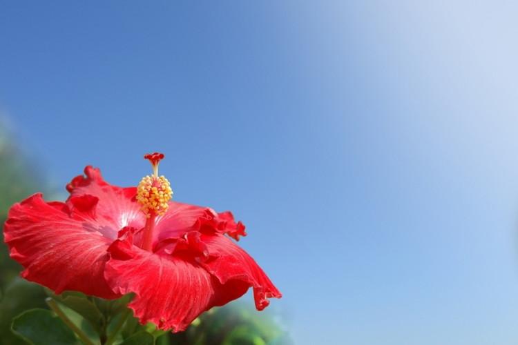 ハイビスカスの花言葉はなに?南国を彩る花には明るい花言葉がたくさんあった!