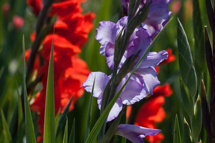剣が名前の由来のグラジオラス、その花言葉は恋人たちの秘密のやり取りからだった