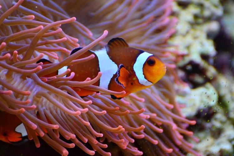 人気の熱帯魚「クマノミ」の名前の由来は?イソギンチャクとの不思議な関係も解説!