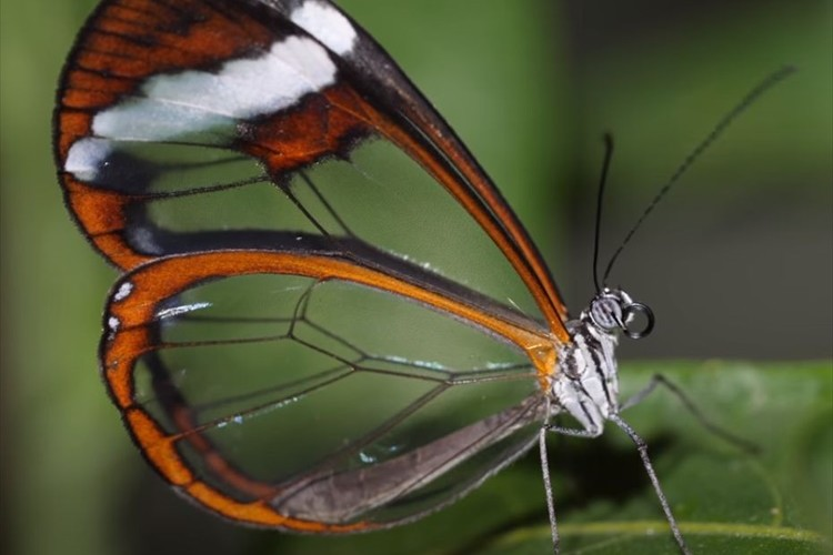ガラスのように透き通った翅が美しい!グラスウィング・バタフライの高解像度動画が話題に