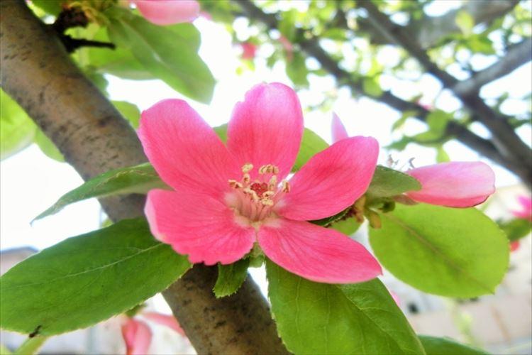 花梨の花言葉はなに?縁起物として昔から庭木にされる花梨は梨とは無関係だった