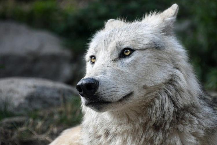 「一匹狼」はどこから生まれた言葉?英語でロンリーウルフとは言わない?