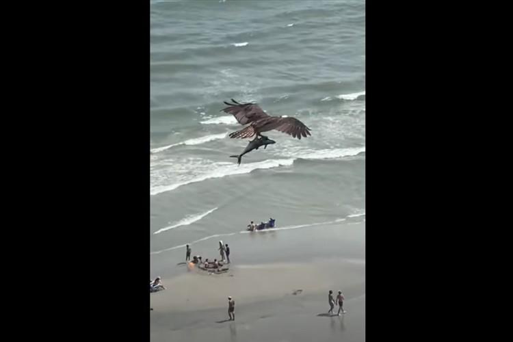これはビビった!巨大な鳥が巨大な魚をつかんで飛行する驚きの光景を目撃