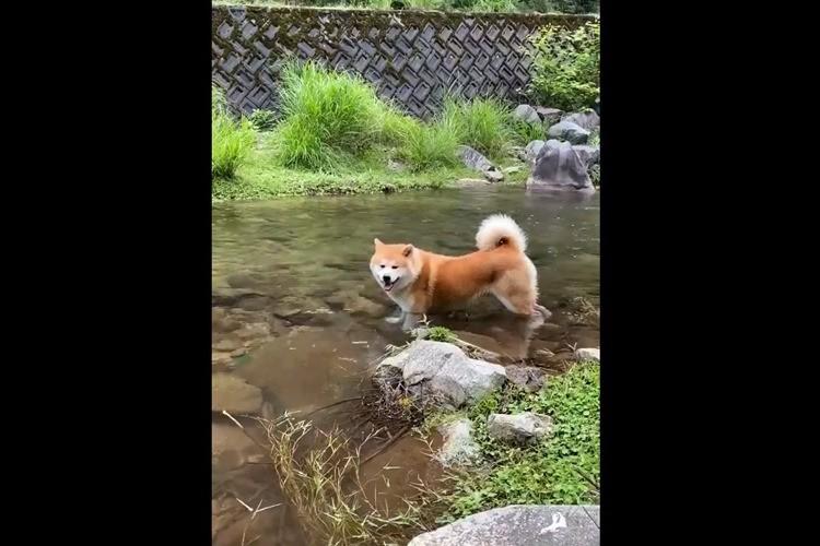 みんなが思ってる水遊びではなかった!?川に浸かる2匹の秋田犬がカワイイ