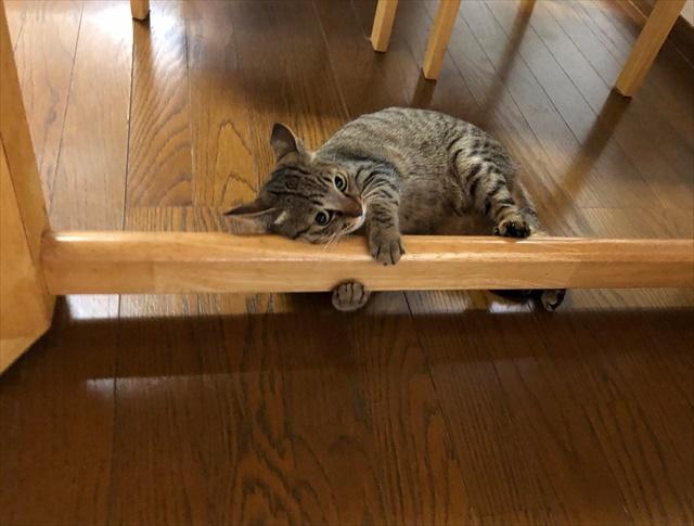 野生味溢れる猫も・・・家の中で「かわいいかわいい」と言われて暮らすとこうなる(笑)