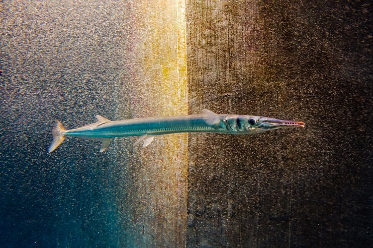 非常に危険な魚の「ダツ」。その危険性は姿を見れば一目瞭然!!