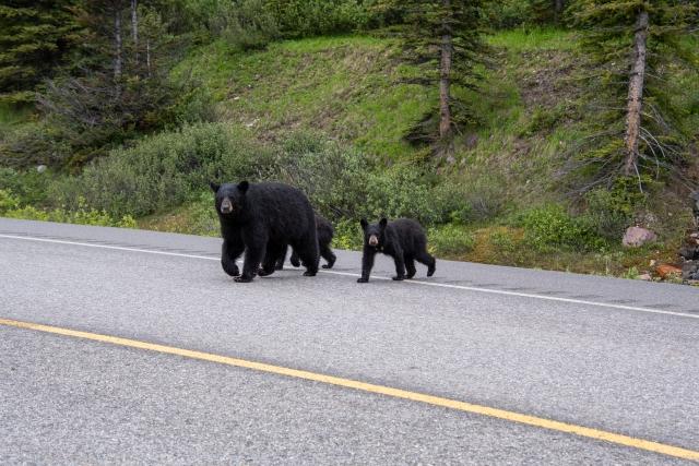 【熊の生態】もしもかわいい子熊を見つけても決して近づいてはいけない事がわかる動画