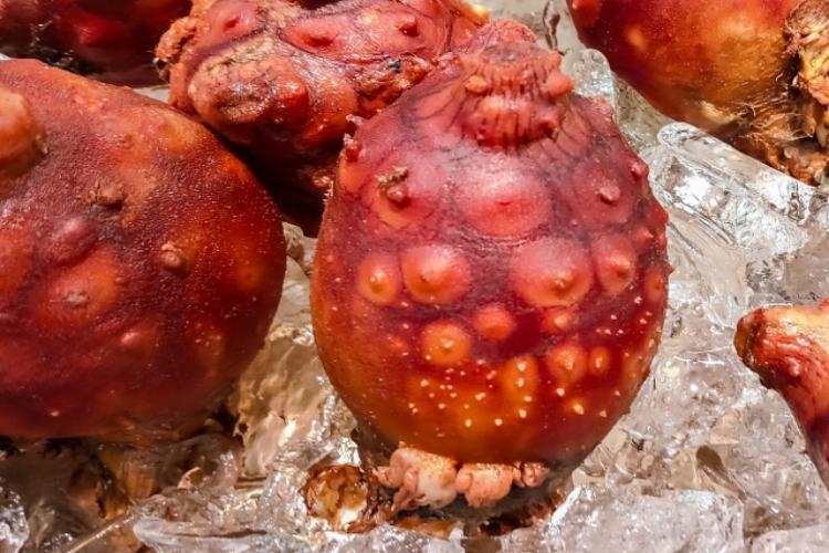 【謎の生物】珍味ともされるホヤって何者?ホヤ貝ともいうし貝なの?それとも別の生物?