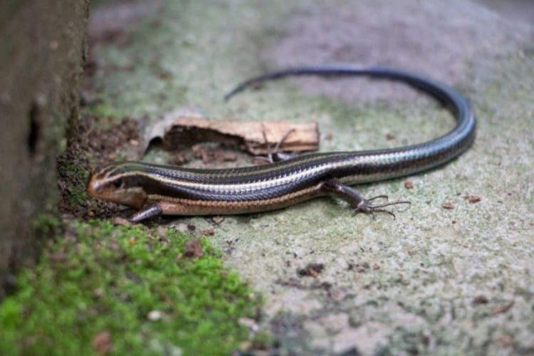 そっくりな生き物「カナヘビ」と「トカゲ」の違いは?違いをポイントごとに解説
