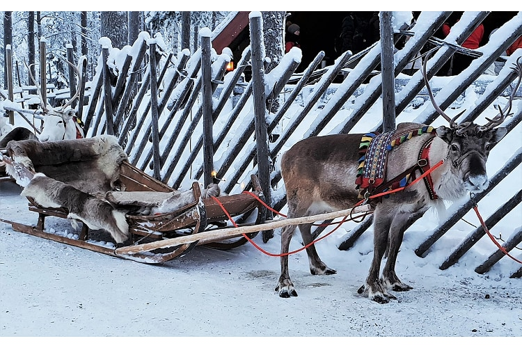 トナカイは鹿の仲間だけどメスにも角がある?!サンタと共にクリスマスに活躍するのもメス!