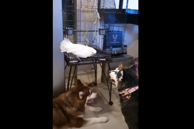 ワン!ワン!自分を犬だと思っているオウムが面白い(笑) 犬のリアクションも笑える