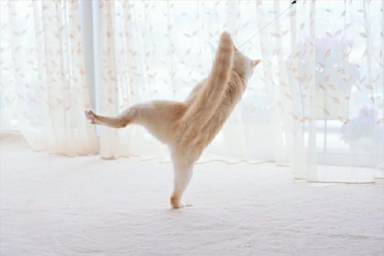 横綱の土俵入りかよ!(笑) 四股を踏んでいるようなニャンコが話題に!