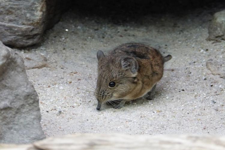 特徴的な鼻の「トガリネズミ」、ずっと食事をしてないといけない燃費の悪い体で大変!