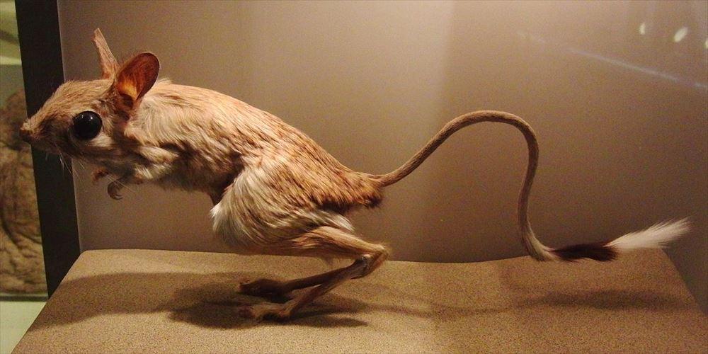 【トビネズミ】世界最小哺乳類の一種でもあり最大の耳を持つ種でもある可愛すぎる生物