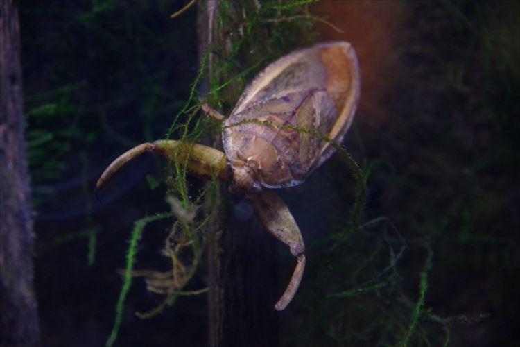 タガメのメスは卵を守るオスをも狙う超肉食系!その行動にビックリ!!