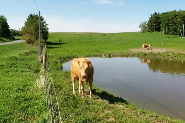 【母性に感動】男性に必死で何かを訴える母牛!どうしても人間に助けてほしい理由が・・・