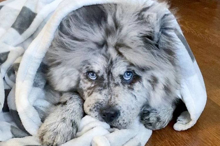 ホワイトライオンみたい!「オレオ雲」のあだ名を持つチャウチャウの子犬がカッコかわいい