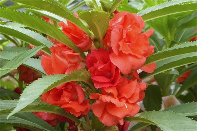 種が弾け飛ぶ「ホウセンカ」その花の名前の由来は?花言葉はなに?
