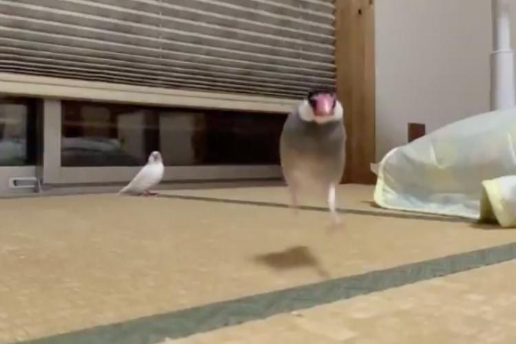 文鳥が走って駆け寄ってくる姿をスローで見たらめちゃくちゃ可愛かった!