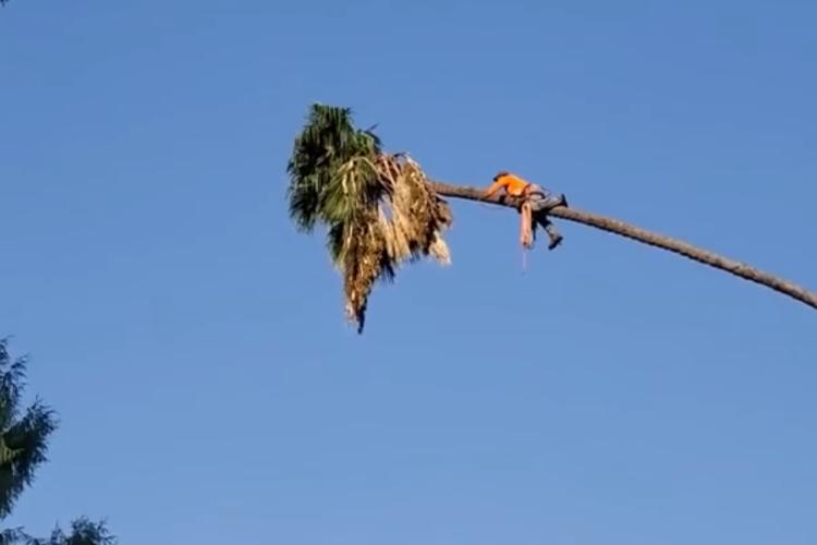 見ているだけでゾッ!もの凄い高さのヤシの木に登って伐採作業をする様子が恐怖すぎる!