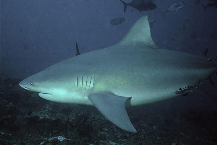 【危険な魚】淡水にも適応可能なオオメジロザメが凄い!3大危険鮫の一角!