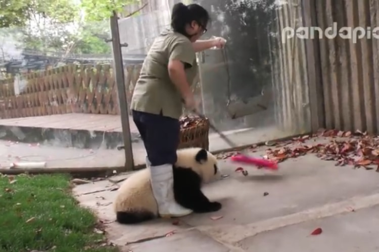 【癒しのパンダ動画】落ち葉を掃除したい飼育員さんVS邪魔する子パンダの動画が一生見てられる!