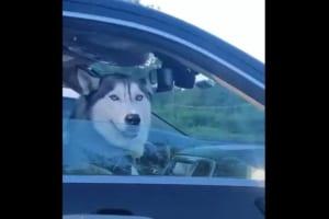 【ハスキーが可愛い】信号待ちで隣の車にいたハスキーと交信するハスキー!お互いの表情が何とも言えずシュールでイイ!