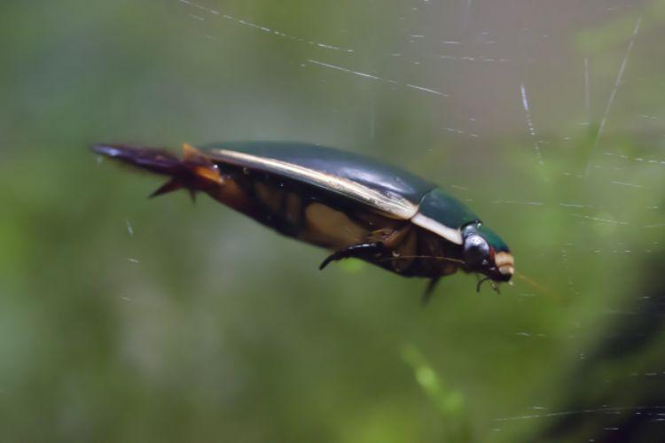 今では絶滅危惧種とされる「ゲンゴロウ」かつては食用にされるほど容易に姿を見ることができた水生甲虫