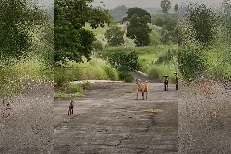 【奇跡の感動実話】保護された子ヤギ はぐれた家族と再会の瞬間を捉えた映像に涙