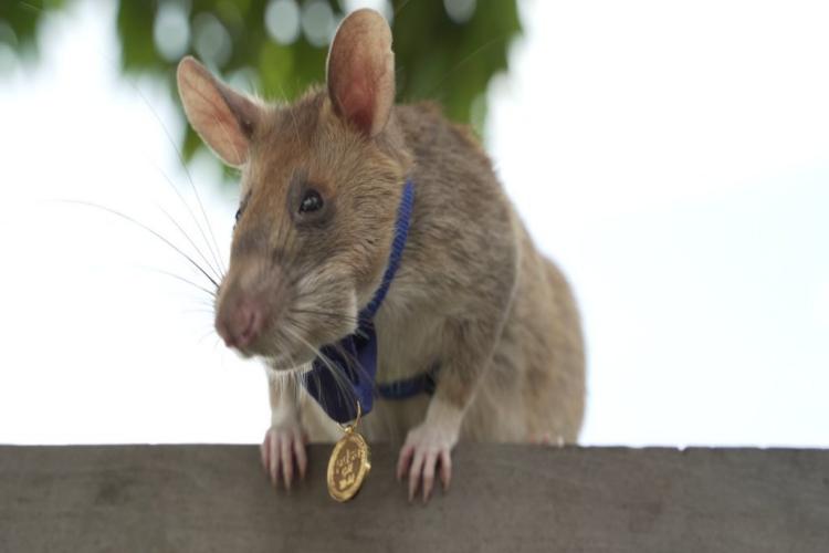 地雷除去のスペシャリストはネズミ!?アフリカオニネズミのマガワが金メダルを授与され話題に!