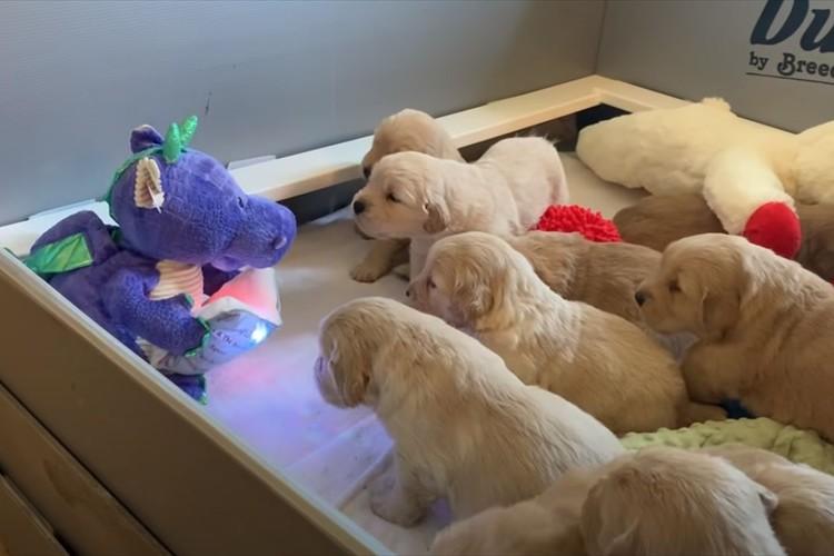 まるで保育園の子どもたち(笑) 恐竜の玩具がゴールデンレトリバーの子犬たちに読み聞かせ