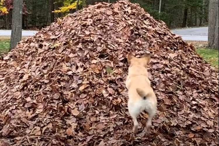 200万再生の大反響!枯れ葉の山に向かってダイブするワンコが見ていて爽快(笑)