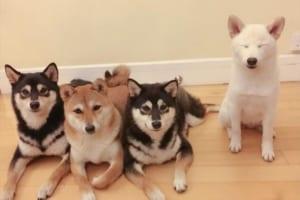 可愛い柴犬4姉妹、その中の1匹が集合写真をいつも台無しにして面白いと話題に(笑)