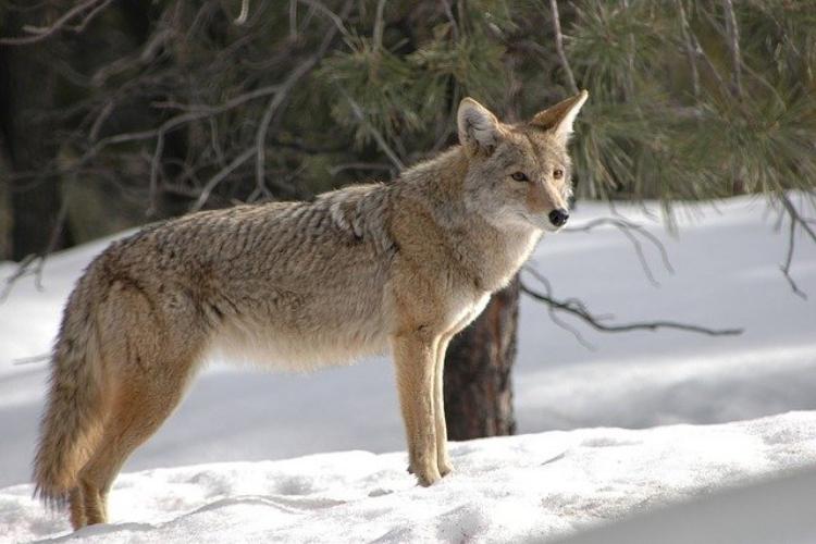 北アメリカに生息する「コヨーテ」はどんな動物?オオカミとどこが違う?