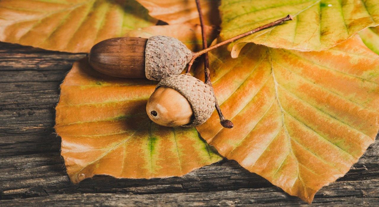 ドングリの実がなるのはドングリの木ではない?!では、何の木に実るの?