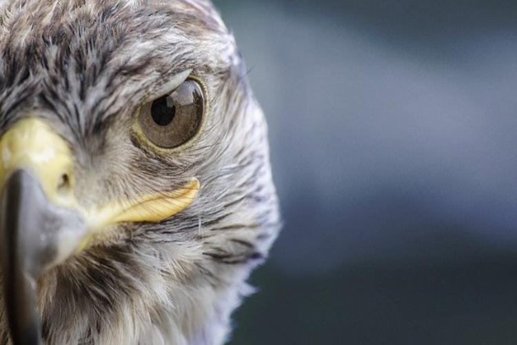 速い鳥の代表「ハヤブサ」、名前もその速度から来たものだった!