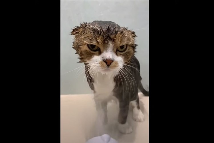 シャワーは嫌いだニャン!目で訴えかけるニャンコが可愛らしいと話題に!