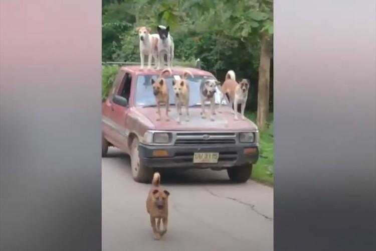 さすがワンコ王国!タイに住む男性がペットのワンコたちと斬新すぎる車移動(笑)