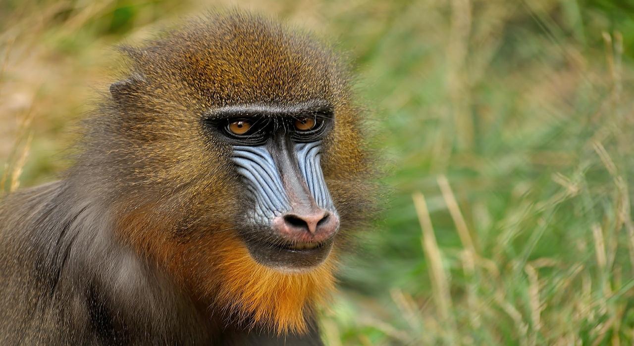 赤い鼻筋で派手な顔の「マンドリル」!でもなんでそんな派手な顔つきなの?