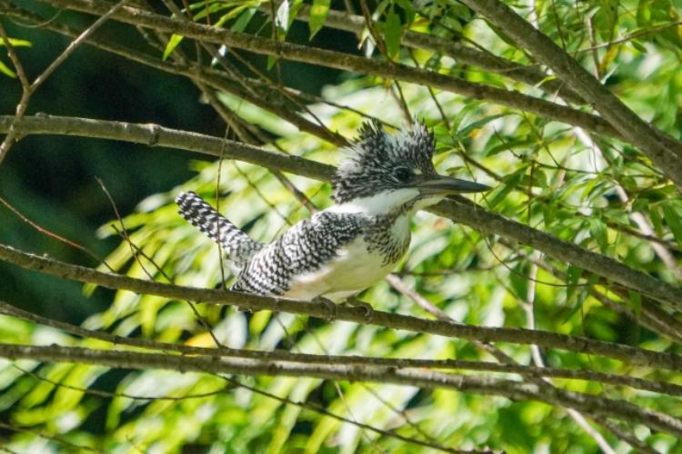 まるでモヒカン!立派な羽冠の「ヤマセミ」は体もデカい!