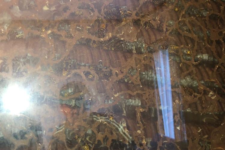 【衝撃】使ってなかった部屋のカーテンを開けたら巨大な蜂の巣が!想像を絶するデカさに鳥肌