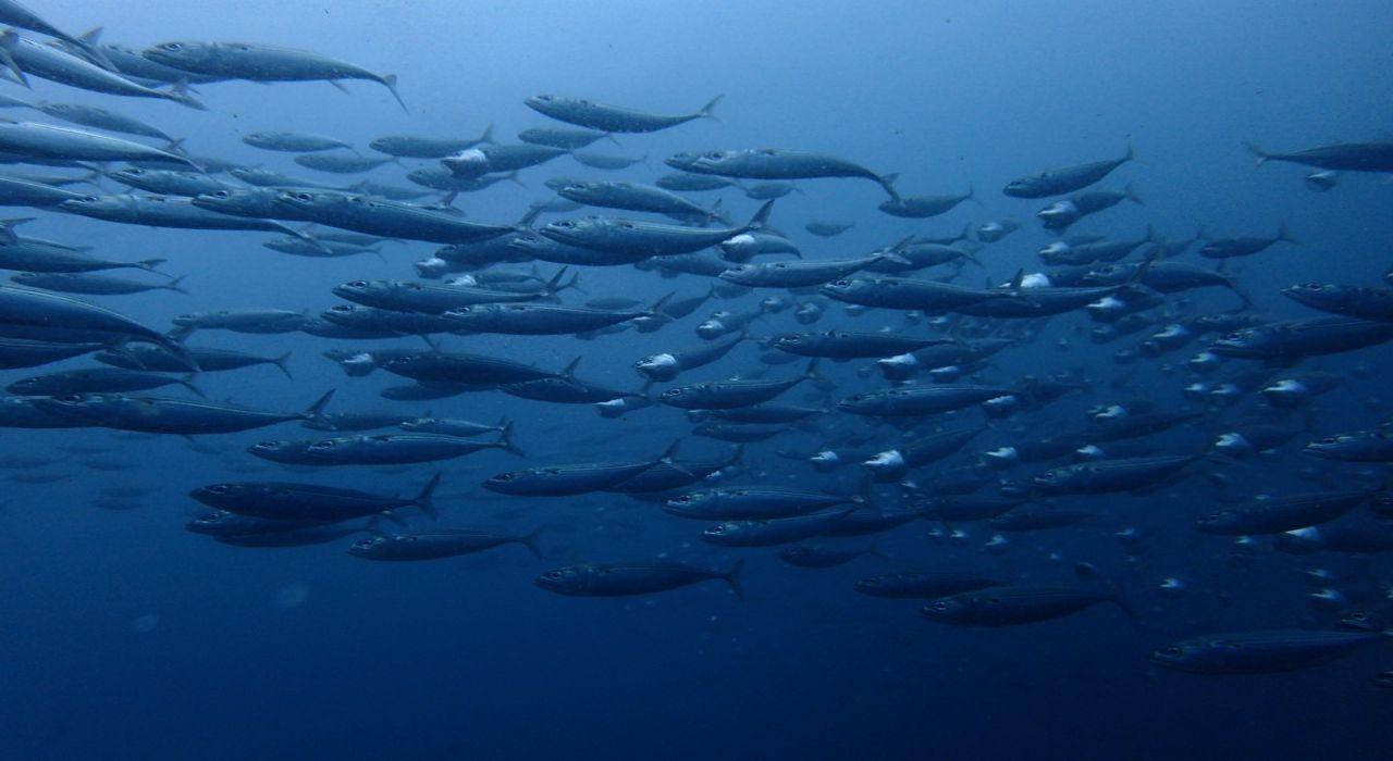 口を大きく開きながら泳ぐ「グルクマ」ってどんな魚?