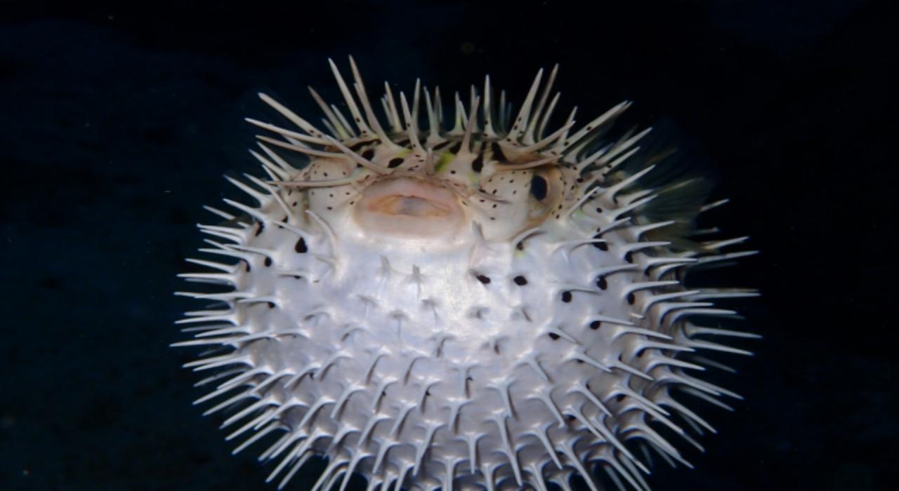 フグの仲間の魚「ハリセンボン」、毒はあるの?針は実際どのくらいあるの?