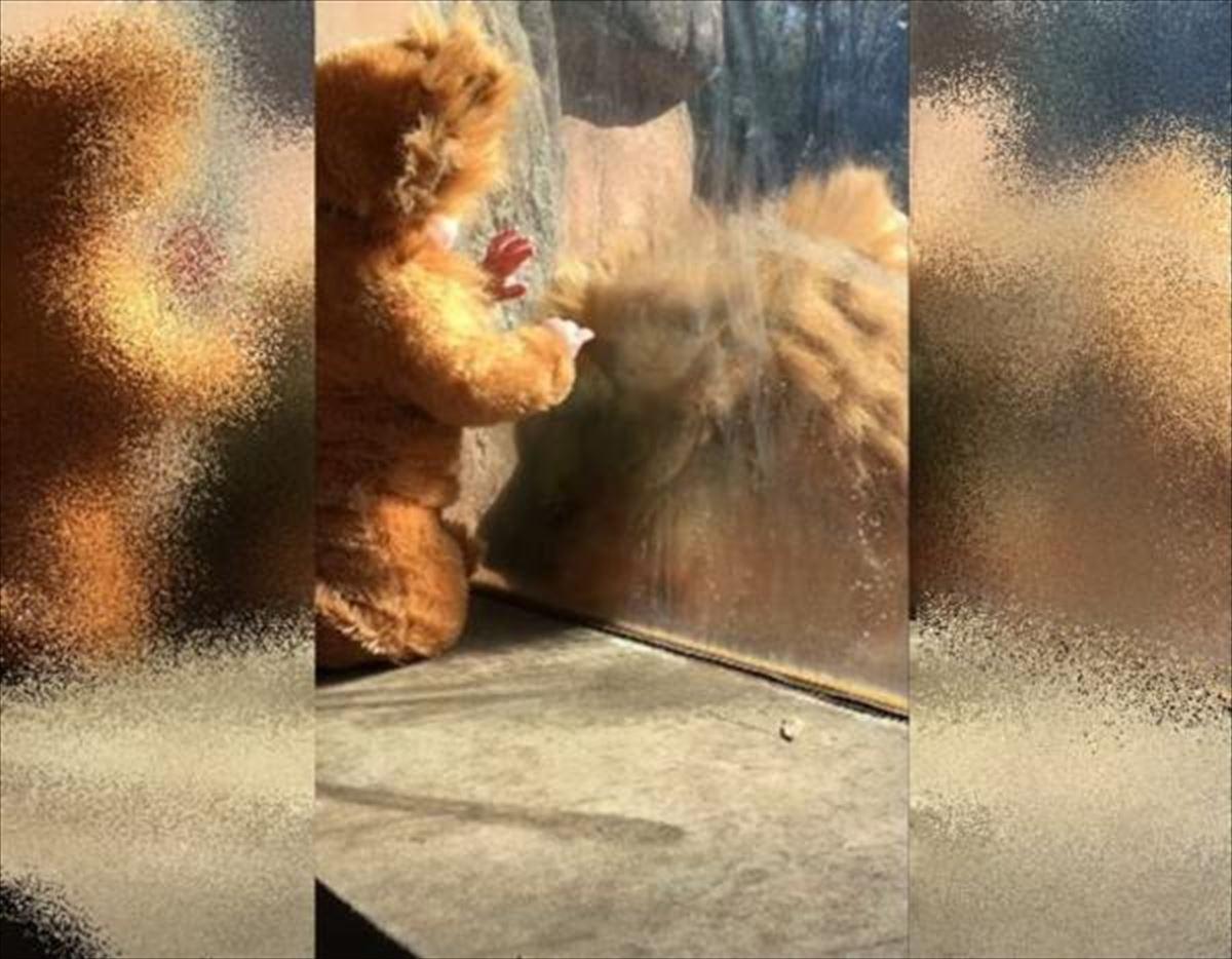「この子、うちの子だっけ?」本物のライオンが着ぐるみの人間の赤ちゃんに興味津々