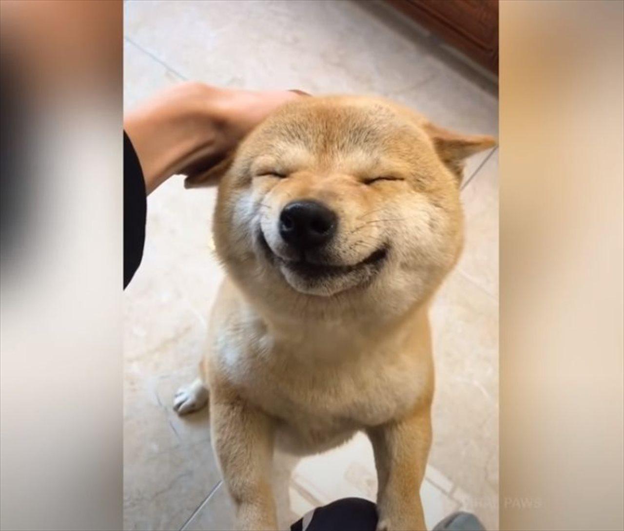 柴犬の笑顔はプライスレス!ただただ柴犬の笑顔に癒される動画が話題に!