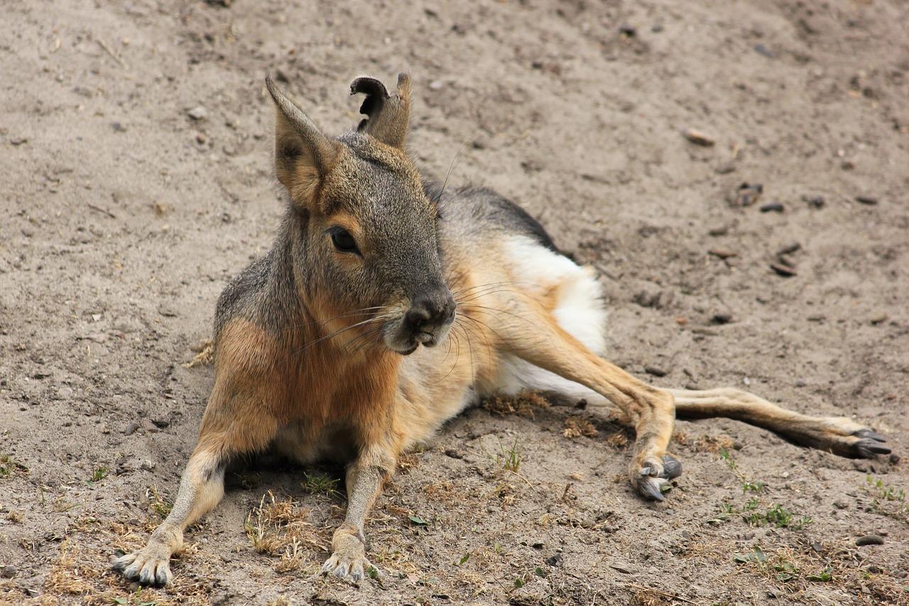 動物の「マーラ」、細く長い脚は小鹿のようだけど、実はネズミの一種
