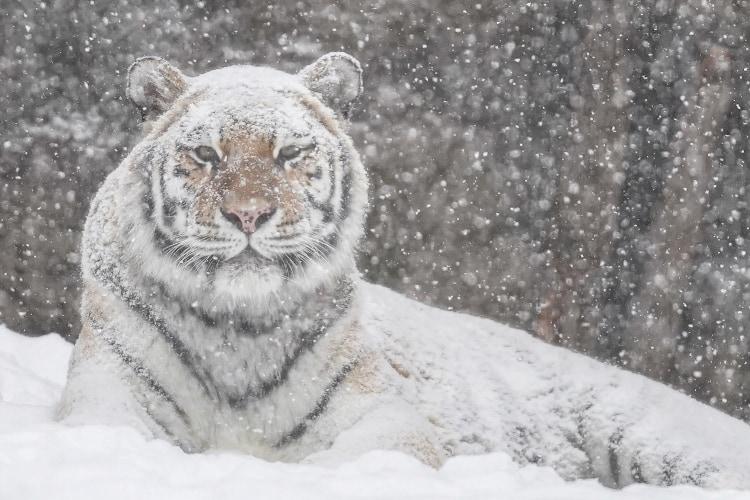 ホワイトタイガーかと思ったら、あれれっ!?旭山動物園で撮影された2枚の写真に反響